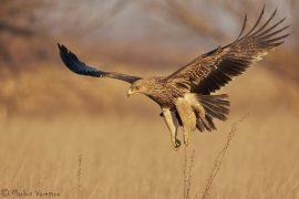 Imperia Eagle 3cy (Aquila heliaca) Hungary January 2014 Keisarikotka