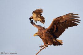 White-tailed Eagle Eagle adult. (Haliaeetos albicilla) and Hooded Crow (Corvus corone cornix) Hungary January 2014 Merikotka Varis